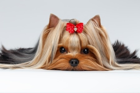 43235291 - closeup portrait of yorkshire terrier dog lying on white background